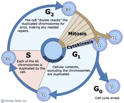 Multiple Choice Questions on Cell Cycle ~ MCQ Biology - Learning