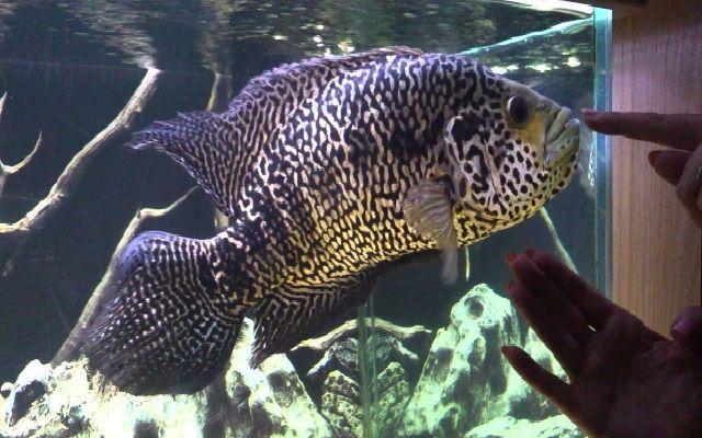 Jenis Ikan Predator