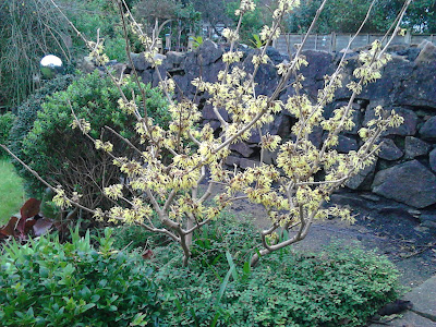Hamamelis scented winter shrub Green Fingered Blog