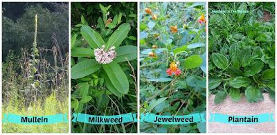 Wildcrafting herbs