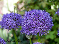Purple globe Allium
