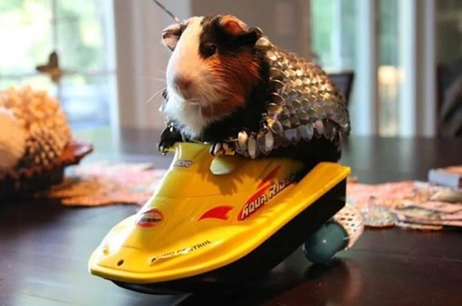 baju besi untuk guinea pig