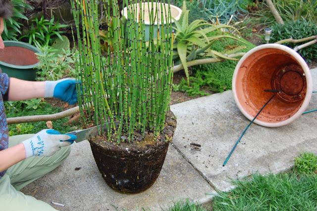 Cara Menanam Tanaman Hias Bambu Air