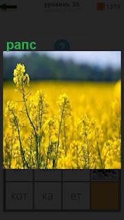 на всем большом поле растет желтый рапс