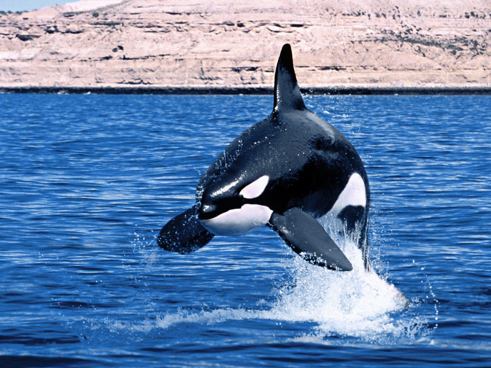 animals wildlife orca picture - photo #1