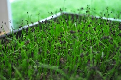 Chive seedlings growing in a seed tray
