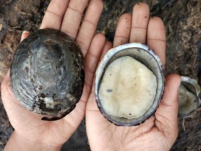 Ketala atau abalone