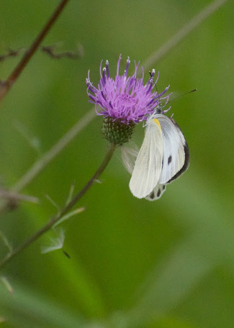 Indian cabbage white (Pieris canidia
