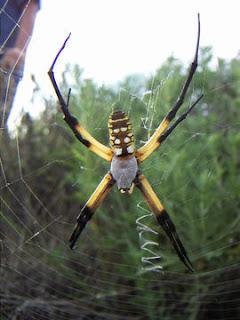 Tipos de Aranhas que suportam presa 200% maior que elas.