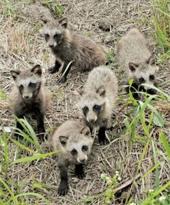 八匹の狸の子