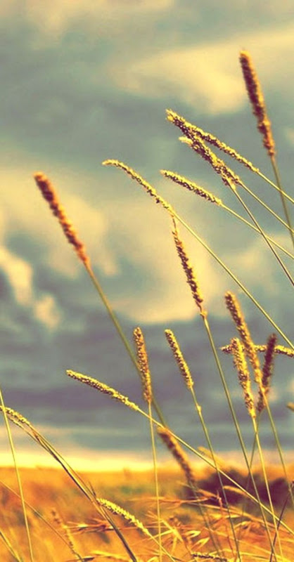 Nature Field Wheat Close Up Hd Wallpaper Wallpapers Abstract