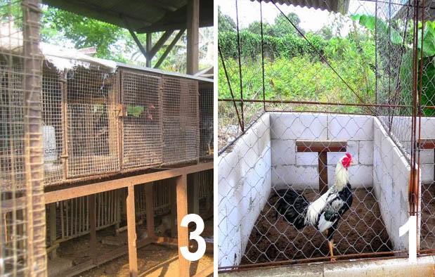 3 Jenis Kandang Ayam Bangkok, Ukuran, dan Cara Membuatnya ...