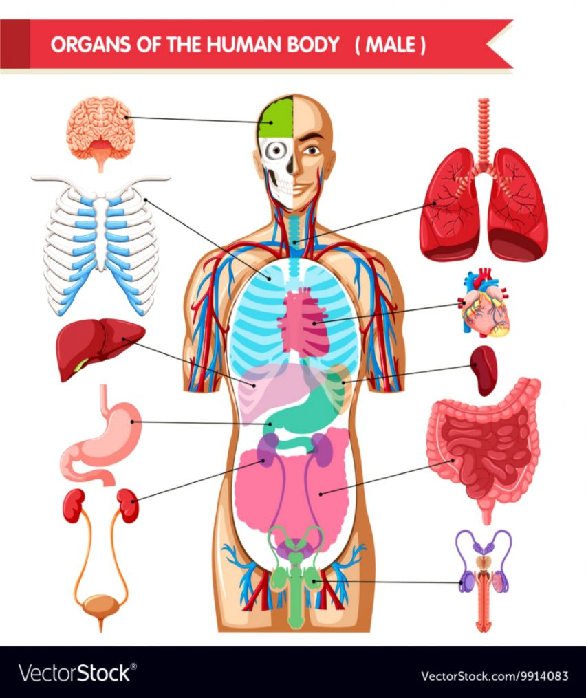 Hd Image Of Human Anatomy Chart Mega Wallpapers