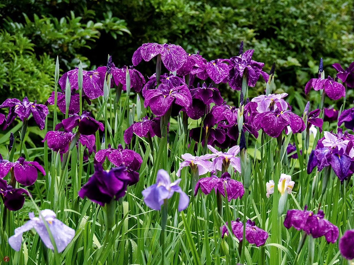 From The Garden Of Zen Hanashobu Iris Flowers Tokei Ji