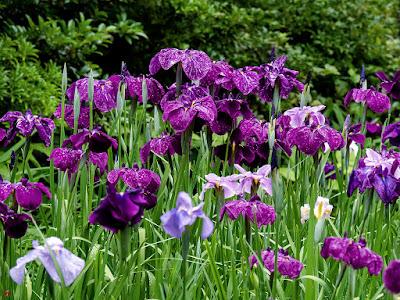 Hanashobu (iris) flowers: Tokei-ji