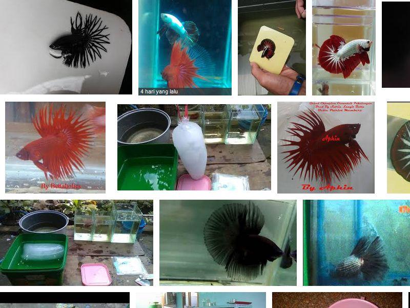 Cara Membius dan Nyalon Ikan Cupang
