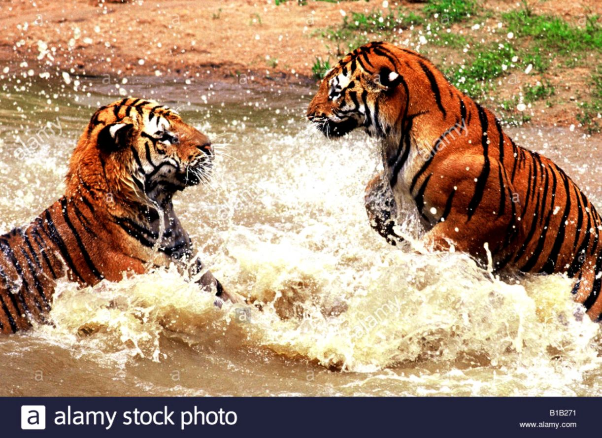 two tigers playing in water Stock Photo 18068261 Alamy