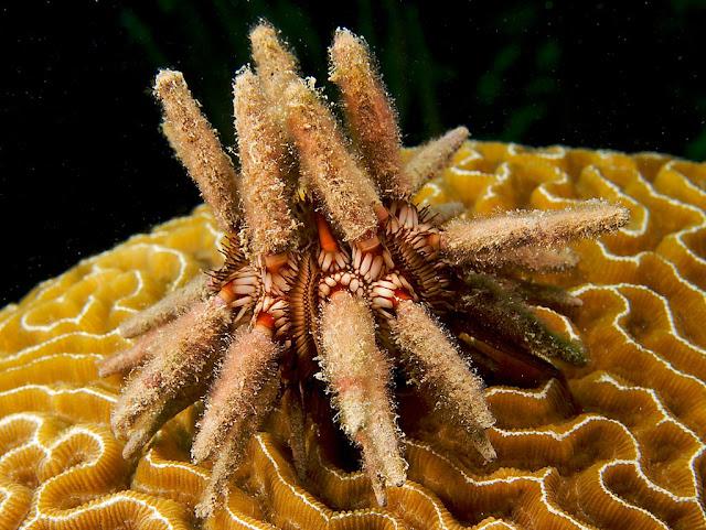 Cidaroida carnivorus sea urchin