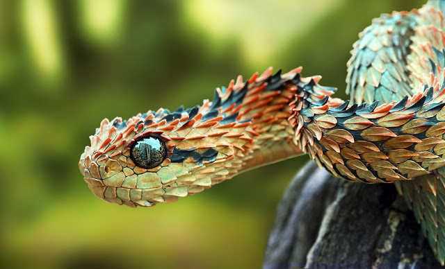Spiny tree viper