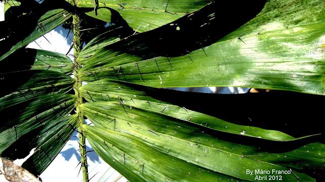 Folha cariota-espinhenta, Ruffle Palm