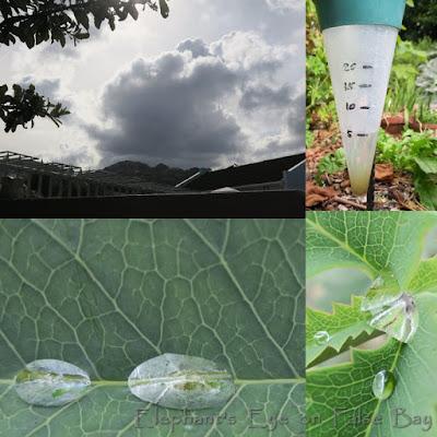 5 millimetres of rain on Melianthus leaf