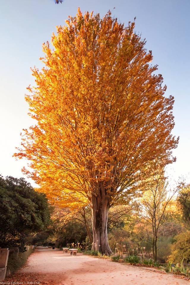 Arbol hojas amarillas otoño. Olmo del Cáucaso. Zelkova carpinifolia