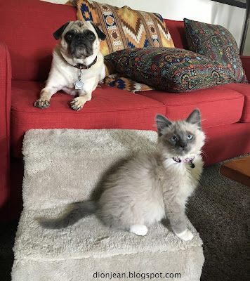 Liam the pug and Fergus the cat on dog stairs