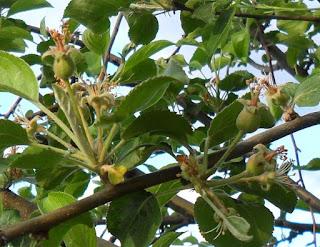 2 июня, завязь яблоньки
