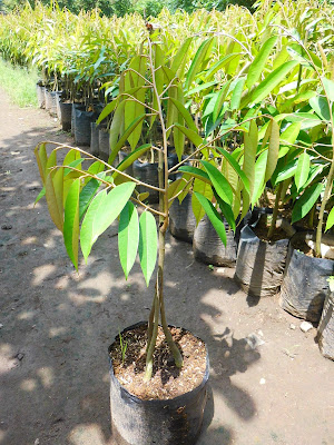 hama tanaman durian | cara pengendalian hama tanaman durian | penyakit tanaman durian | perawatan tanaman durian | cara merawat tanaman durian | hama durian