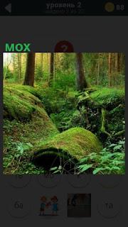 растет мох в лесу на деревьях