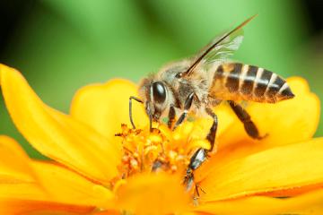 Beija-flores e abelhas estão sendo expostos a pesticidas neonicotinóides – Pode gerar uma crise na produção de alimentos