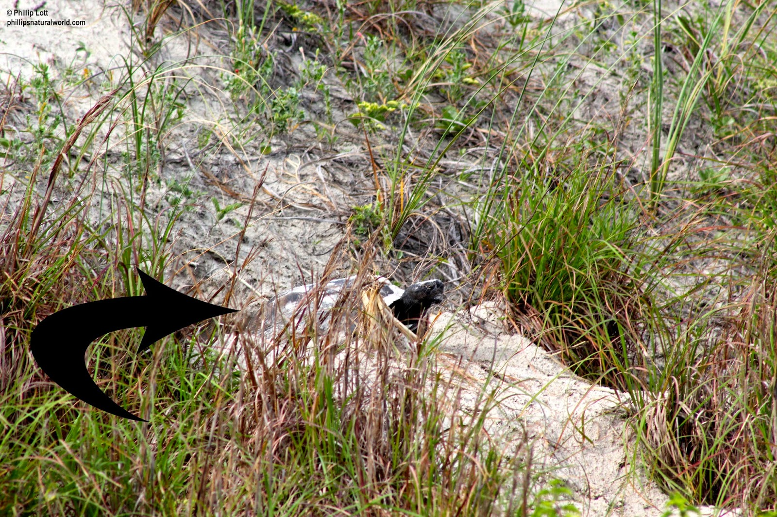 Tropical Island Beach Ambience Sound: Gopher Tortoises Of The Atlantic Dunes