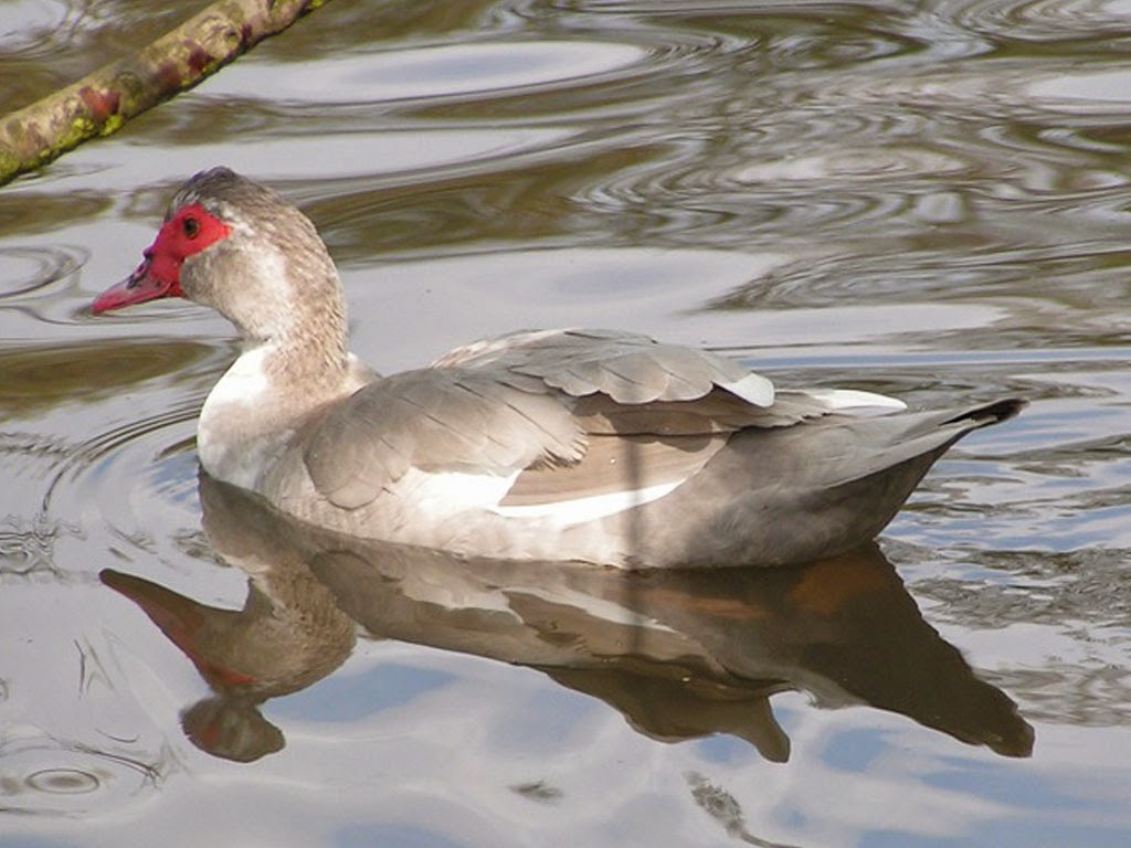 Lavender Muscovy Duck Pictures