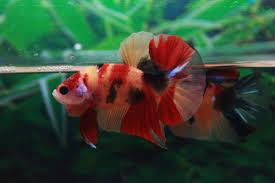 Ikan Cupang Nemo Dan Jenis Jenisnya