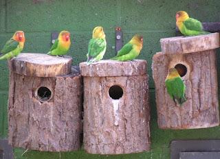 Gangguan Bisa Dari Makanan Lovebird Saat Mengeram