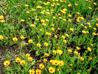 small yellow wildflowers in spring