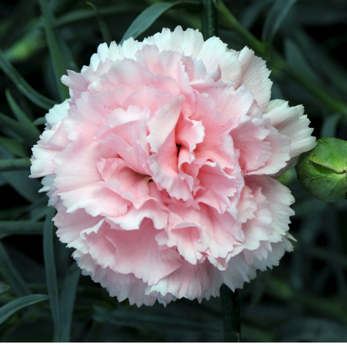 Carnations Flowers  Carnation Flower Gallery 7 Baby pink carnation