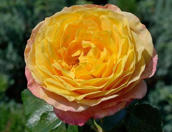 Rose der Hoffnung сорт розы Кордес фото купить саженцы Минск