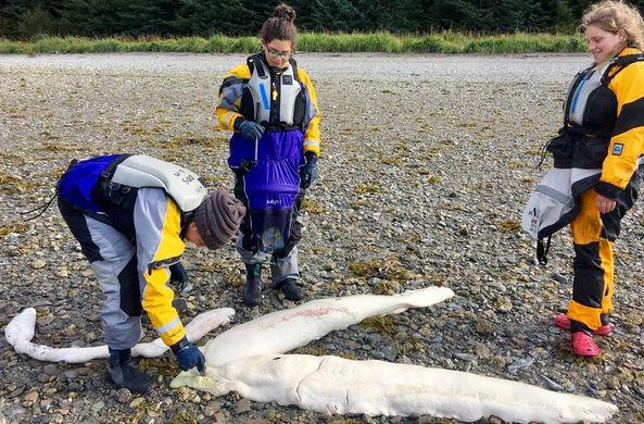 На берег Аляски выбросило останки загадочного морского существа