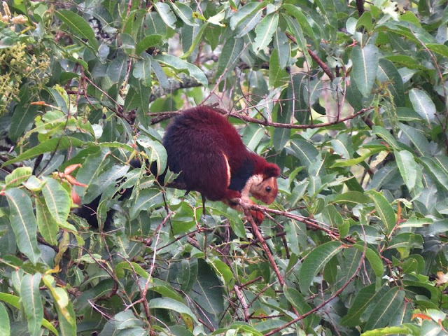 malabar giant indian squirrel masinagudi india may 2017 safari by anuj hissaria