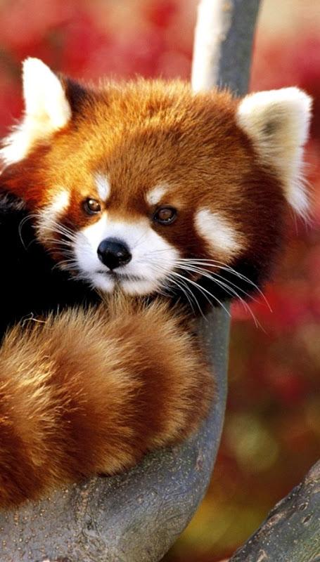Animal Red Pandas Wallpaper Hd Wallpapers