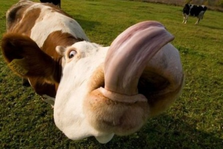 All Funny,Cute,Cool and Amazing Animals: Funny Cows ...