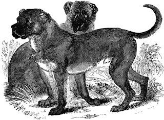 Dogo Cubano-pets-dogs-dog breeds