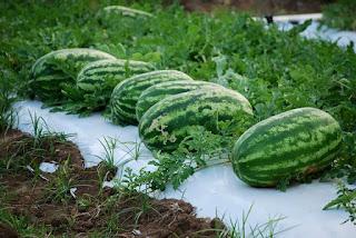 tarbooz-kharbuja-farming