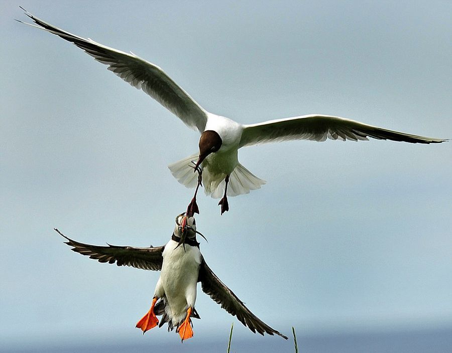 Seagull Midair Grab Fish from the Sea Bird Population