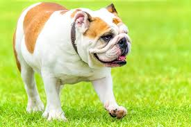 The Top 10 Most Expensive Dog Breeds In the World 2018