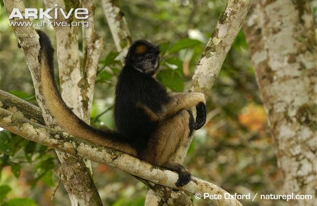 White bellied spider monkey