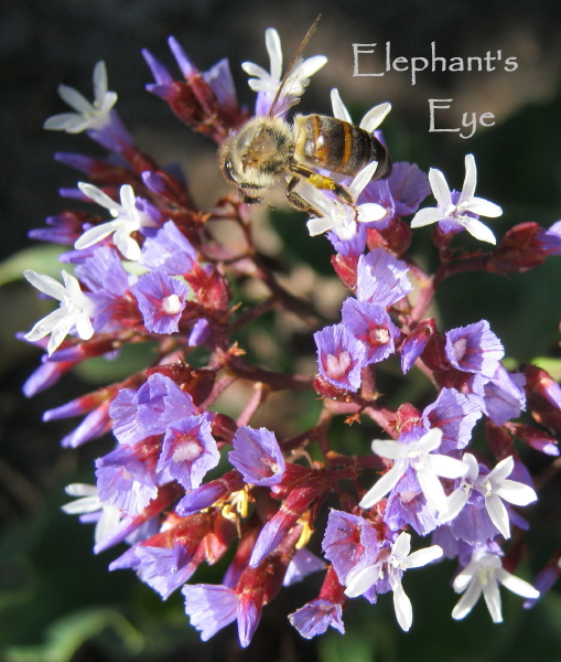 Bee on Limonium perezii