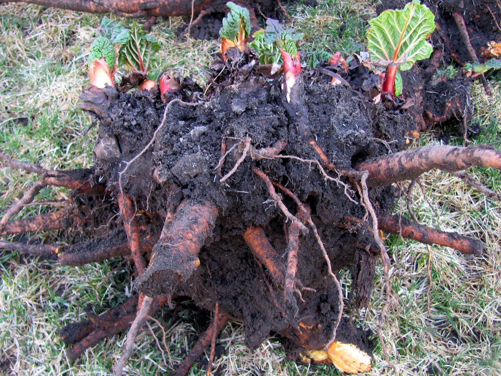 How to plant rhubarb in the fall - Dividing Rhubarb