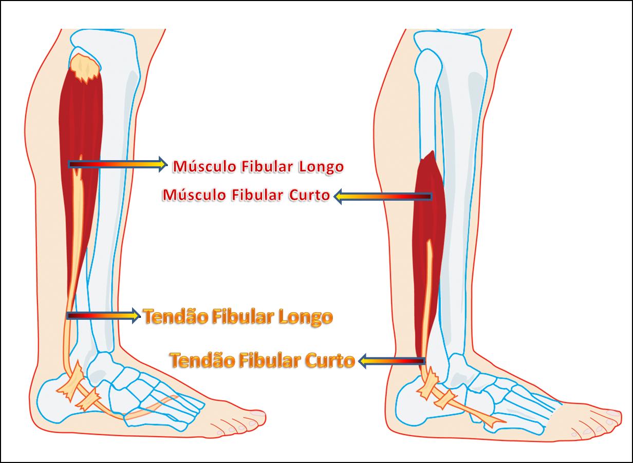 d8c3a9f00 Eles se separam na região plantar do pé, pois possuem inserções ósseas  diferentes: o fibular curto prende-se na base do quinto metatarsiano e o  fibular ...